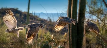 Great Horned Owl in Sonoran Desert Daytime Flying Sequence. Great Horned Owl with Talons and Yellow Eyes stock photo
