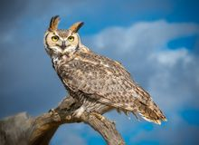 Great Horned Owl in Sonoran Desert Daytime. Great Horned Owl with Talons and Yellow Eyes royalty free stock image