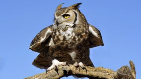 Great Horned Owl Squat Stock Images