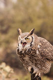 Great Horned Owl Squawking Stock Photos