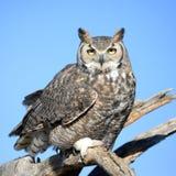 Great-horned Owl Standing, Arizona, USA Royalty Free Stock Image