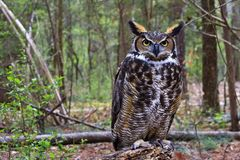 Great Horned Owl Standing on a Tree Log. Great Horned Owl standing on a log in the woods royalty free stock photos