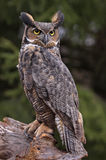 Great Horned Owl Stare Royalty Free Stock Images