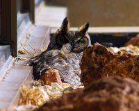 Great Horned Owl Stare. Great horned owl staring at camera while nesting on office ledge with a feather flying in the wind Stock Photos