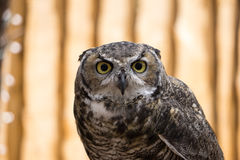 Great Horned Owl Staring at Camera Stock Image