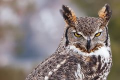 Portrait of a great horned owl. Great horned owl staring at camera Royalty Free Stock Photography