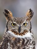 Portrait of a great horned owl. Great horned owl staring at camera Royalty Free Stock Photos