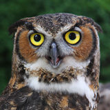 Great Horned Owl. Starring straight into the camera Stock Images
