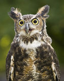 Great Horned owl. In sunlight, close up royalty free stock image
