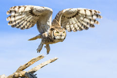 Great horned owl taking flight Stock Photos