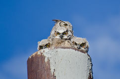 Great Horned Owl With Three Owlets Making Eye Contact Stock Photography