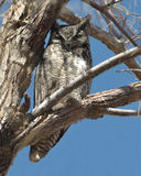 Great Horned Owl in a Tree Royalty Free Stock Photography