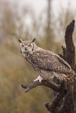 Great Horned Owl in Tree Stock Photography