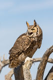 Great Horned Owl in Tree Stock Images