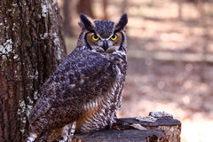 Great Horned Owl on a tree stump. Great Horned owl watching intently while it blends into it's wooded environment. These large owls are found throughout southern stock photo