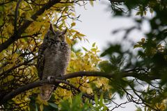 Great horned owl in the trees stock photography