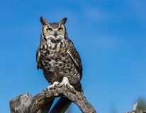 Great Horned Owl. Tucson Arizona stock photo