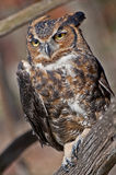 Great Horned Owl two. Captive owl posing on tree branch Stock Photo