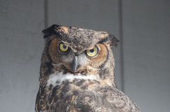 Great horned owl2 Royalty Free Stock Photo