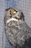 Great horned owl3 Stock Photo