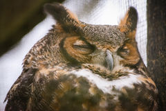 Great Horned Owl. An up close view of a great horned owl Stock Image