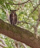 The Great Horned Owl Royalty Free Stock Image