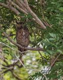 The Great Horned Owl Stock Photos
