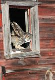 Great horned owl in window opening Royalty Free Stock Image