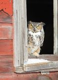 Great horned owl in window opening Stock Photography