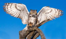 Great Horned Owl. With Wings Outstretched Landing on Branch Royalty Free Stock Photo