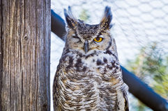 Great Horned Owl Winking. Great Horned Owl squinting one eye, or as I prefer to believe...winking at the camera Royalty Free Stock Photos