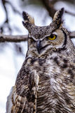Great Horned Owl in Winter Setting Royalty Free Stock Images