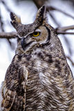 Great Horned Owl in Winter Setting Stock Photography