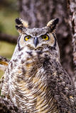 Great Horned Owl in Winter Setting Royalty Free Stock Image