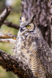Great Horned Owl in Winter Setting Stock Photo