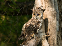 Great horned owl with yellow eyes perched in old tree Stock Photo