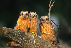 Great Horned Owl Young Royalty Free Stock Photos