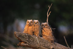 Great Horned Owl Young. Three young great horned owls in very early morning light on a log stock photos