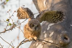 A Great Horned Owlet Flapping Its Wings. This great horned owlet is demonstrating the skill of branching. As owlets mature they leave the nest and walk out on stock photo