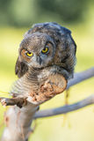 Great Horned Owlet Stock Photography