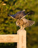 Great Horned Owlet Stock Photo