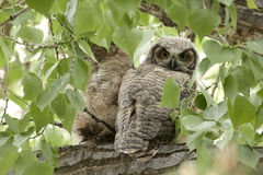 Great Horned Owlet. Royalty Free Stock Photos