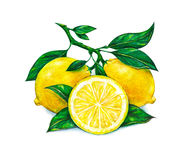 Great illustration of beautiful yellow lemon fruits  on white background. Watercolor drawing of lemon Stock Images