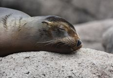 Great Image of a Sea Lion Sleeping. Great Shot of a Sea Lion Sleeping Stock Photography