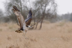Great indian bustard. Highly endangered species from the Bustard family  is shot in flight in it's typical habitat in the desert of Rajasthan, India Stock Images