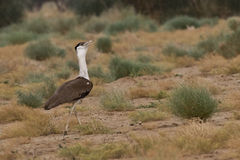 Great indian bustard. Highly endangered species from the Bustard family  is shot in it's typical habitat in the desert of Rajasthan, India Stock Photo