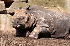 Great Indian Rhino Stock Image