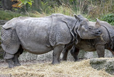 Great indian rhinoceros 13 Royalty Free Stock Photos