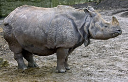 Great indian rhinoceros 5 Stock Image