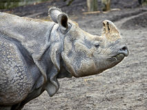 Great indian rhinoceros 7 Royalty Free Stock Images